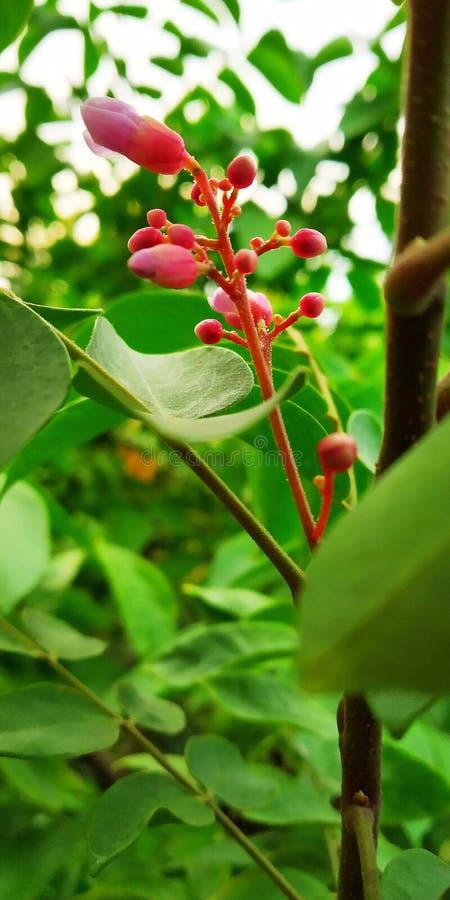 Bourgeon floraux de fruit d'étoile image stock