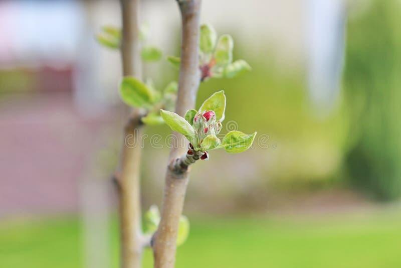 Bourgeon floraux de pomme photographie stock