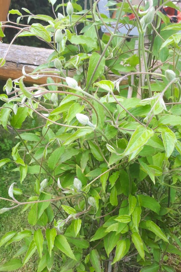 Bourgeon floraux du jardin blanc de cl?matite au printemps image stock