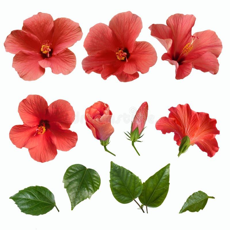 Bourgeon floraux et feuilles roses de ketmie images stock
