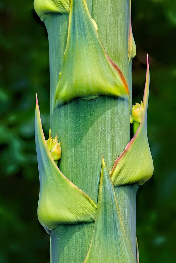 Bourgeon floraux fleurissants d'agave sur le plan rapproché de tige photo stock