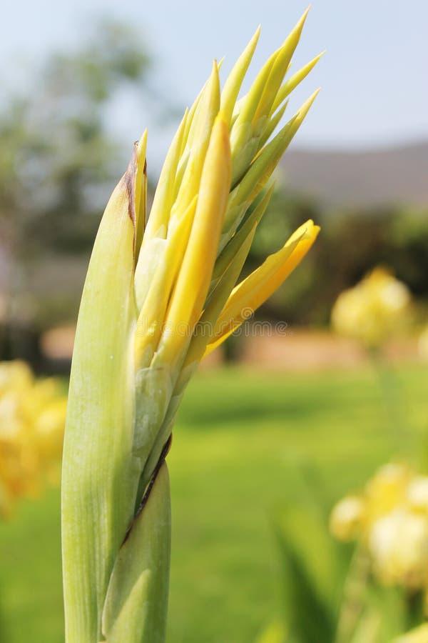 Bourgeon floraux jaunes de Canna photographie stock libre de droits
