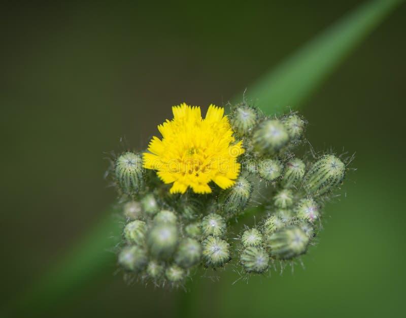 Bourgeon floraux jaunes fleuris photos stock