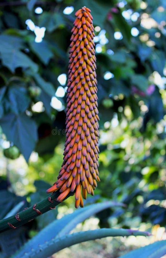 Bourgeon floraux oranges d'aloès image stock