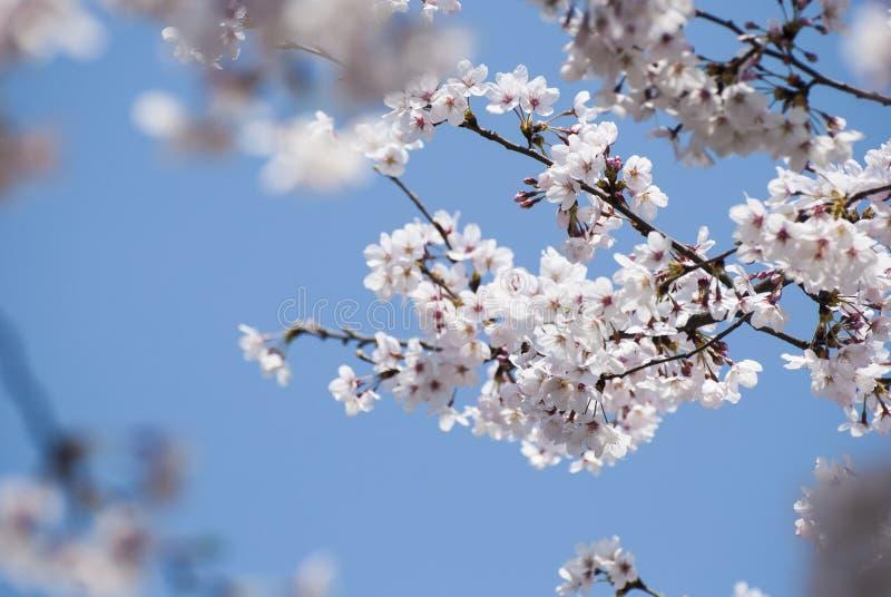 Bourgeon floraux roses au printemps image stock