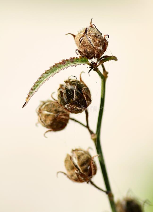 Bourgeon floraux secs photographie stock libre de droits