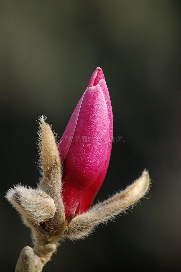 Bourgeon pourpré de magnolia photo libre de droits