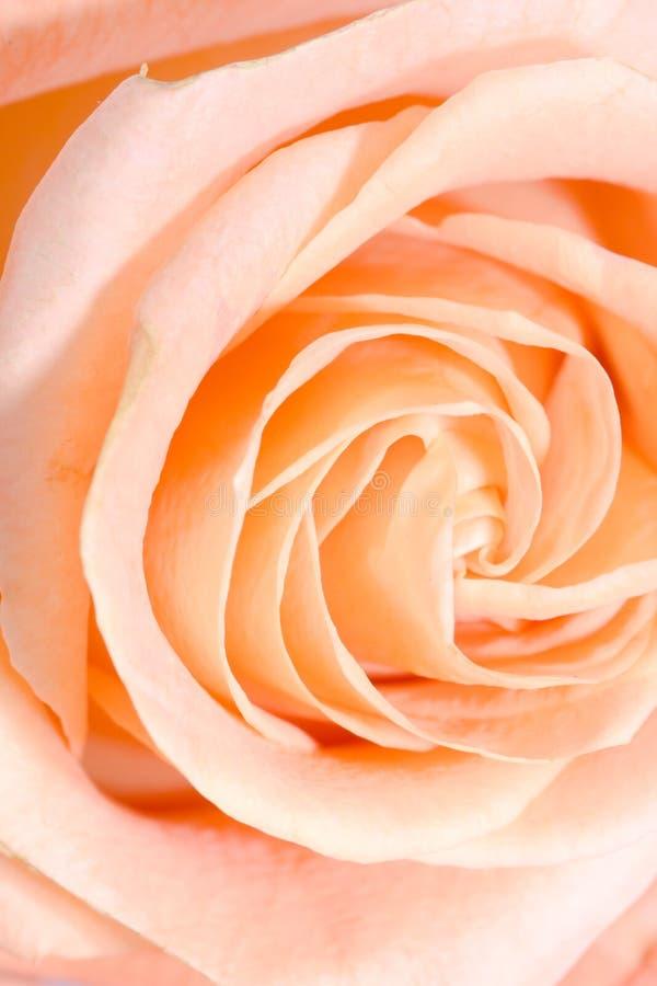 Bourgeon rose d'instruction-macro de plan rapproché photo stock