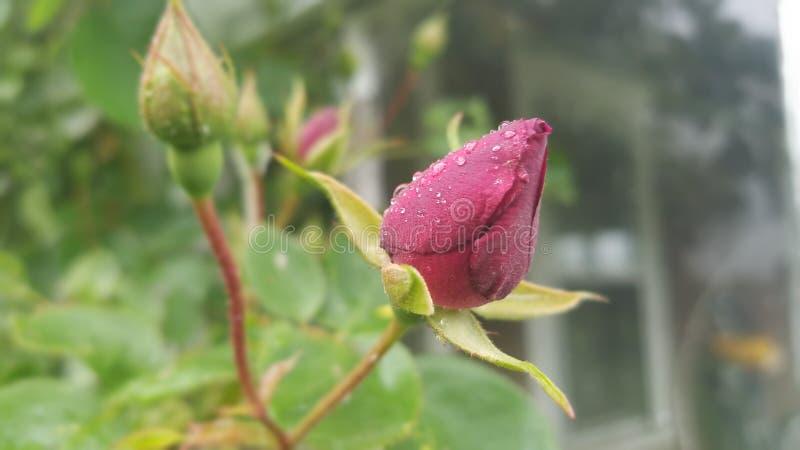 Bourgeon rose de buisson rouge images libres de droits