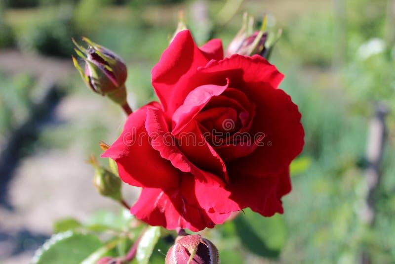 Bourgeon rose rose de floraison dans le jardin photo libre de droits