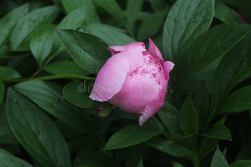 Bourgeon rose de pivoine images stock