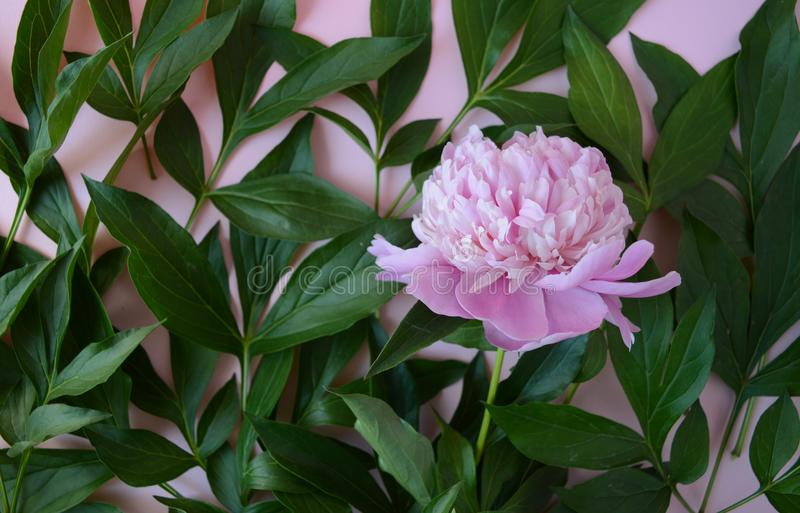 Bourgeon rose de pivoine sur des feuilles photo stock