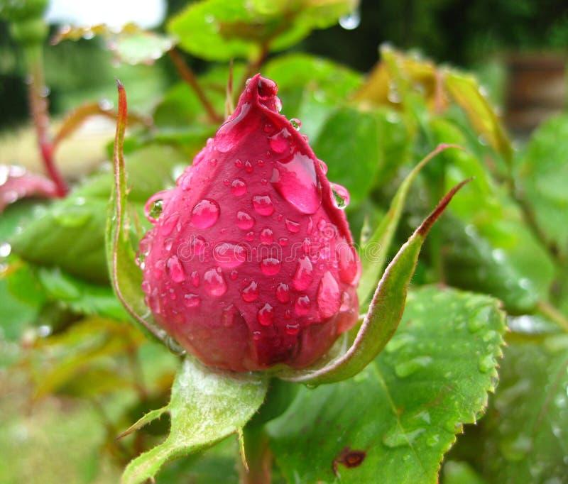 Bourgeon rose de rouge serré après une pluie de source image stock