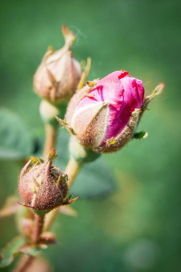 Bourgeon rose en pleine expansion, ressort agréable ou jour d'été, commencer de n photos libres de droits