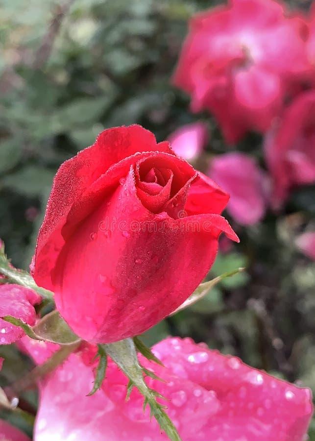 Bourgeon rose rouge avec des baisses de rosée photographie stock libre de droits