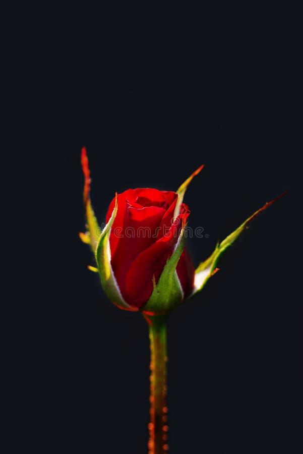 Bourgeon rose rouge d'isolement sur le fond bleu image stock