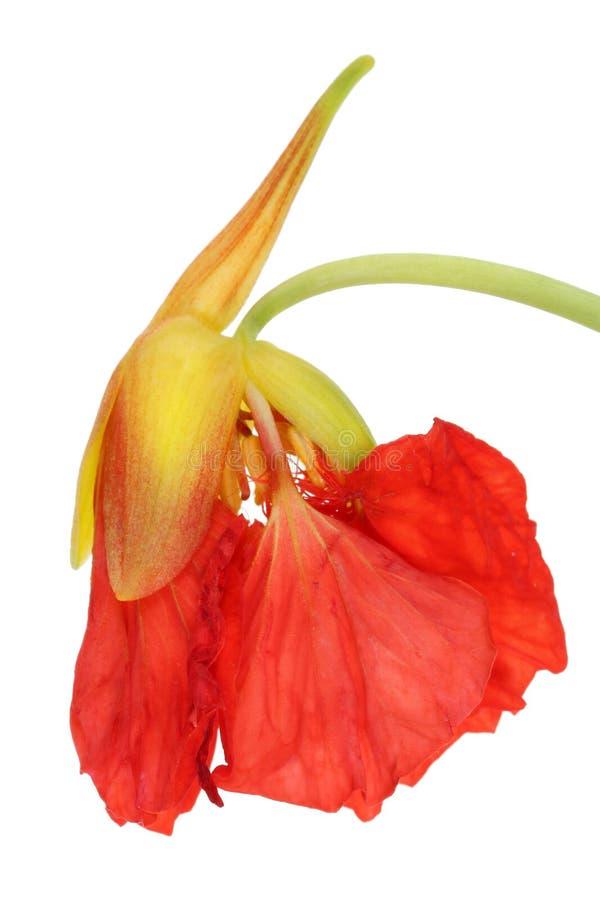 Bourgeon rouge comestible doux frais de la fleur de jardin de nasturce photos libres de droits