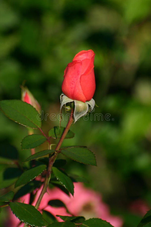 Download Bourgeon rouge de Rose image stock. Image du bourgeon, assez - 168301