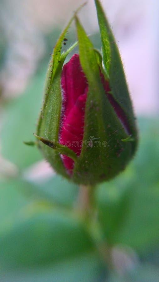 Bourgeon rouge de Rose photo libre de droits