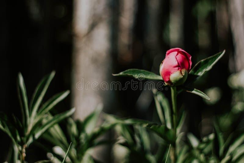 Bourgeon rouge-rose de pivoine contre le plan rapproché d'herbe verte et de barrière Peu fleur rose de pivoine dans le jardin image stock