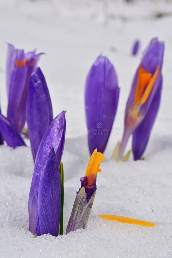 Bourgeonne de la fleur de crocus dans la neige de fonte images stock