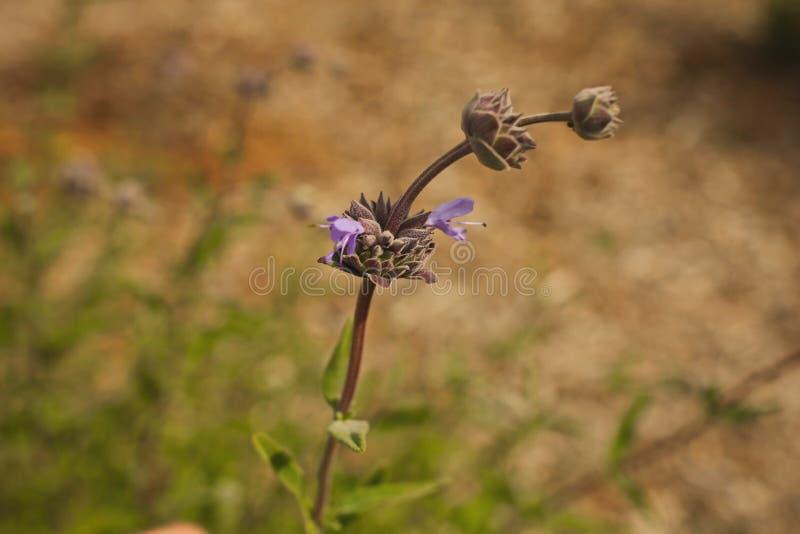 Download Bourgeonne Le Wildflower Pourpre Photo stock - Image du cheminées, california: 87708702