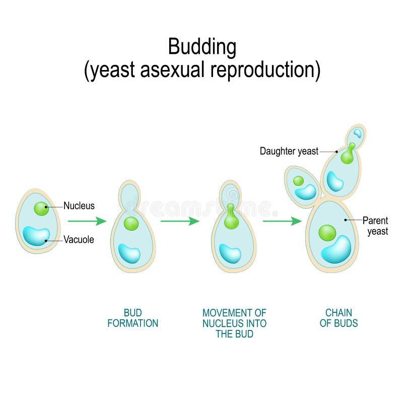 bourgeonnement reproduction asexuelle de cellule de levure illustration de vecteur