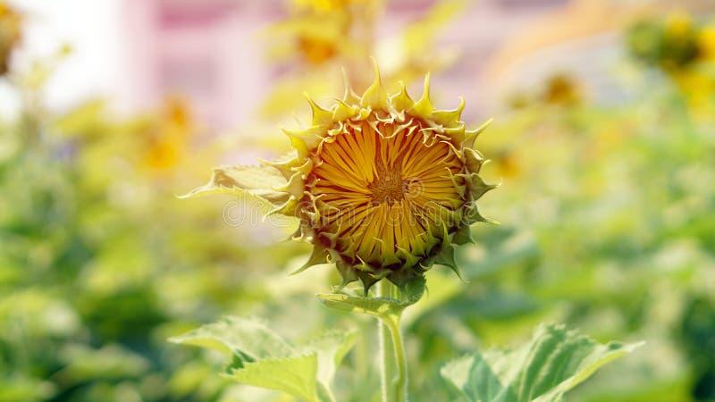 Bourgeonnez le tournesol Jeune concept de floraison de flore de nouveau début photographie stock