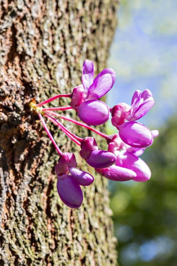 Bourgeons d'arbre de judas photographie stock libre de droits