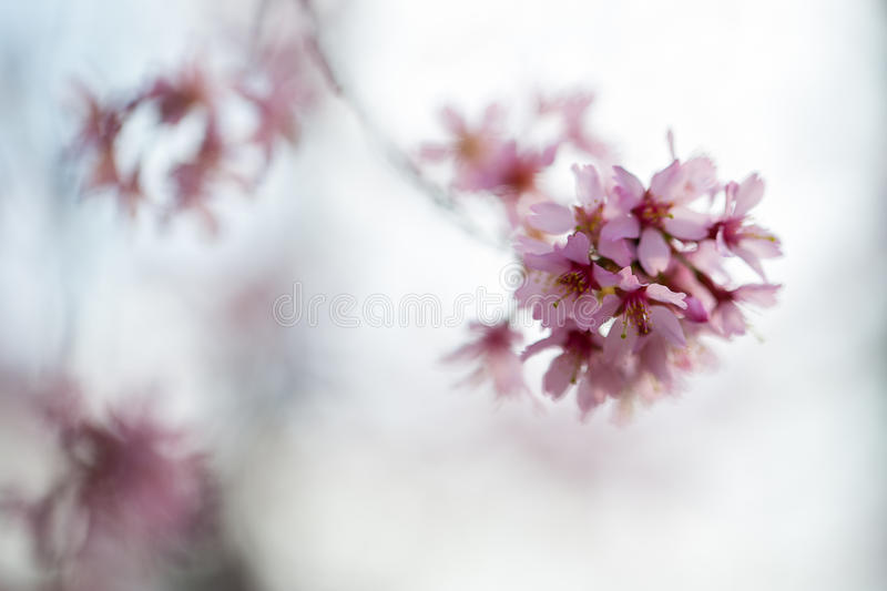 Bourgeons de cerisier photo stock