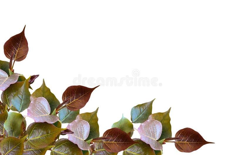 Bourgeons de congé de Bodhi d'isolement photo stock