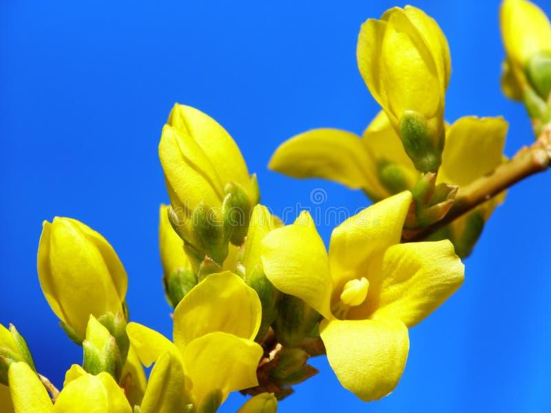 Bourgeons de forsythia photo stock