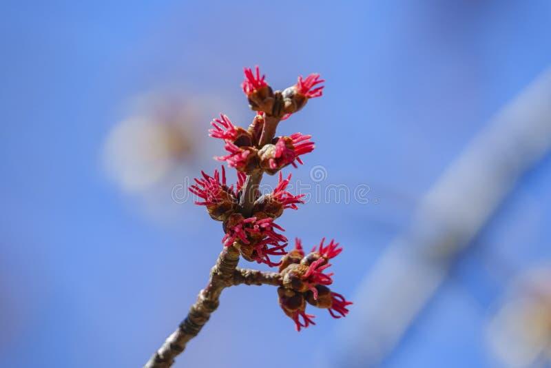 Bourgeons de l'érable argenté dans le chêne Glen Preserve image stock