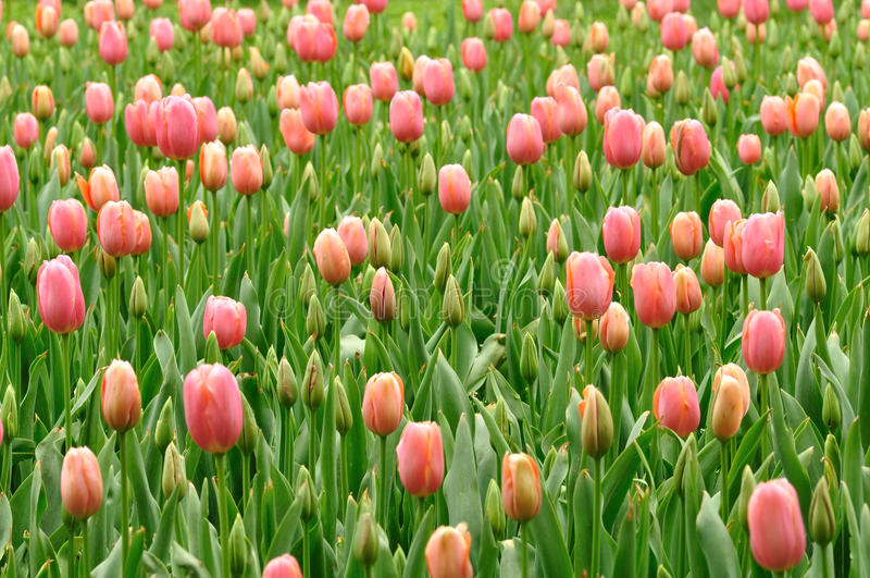 Bourgeons de tulipe image stock