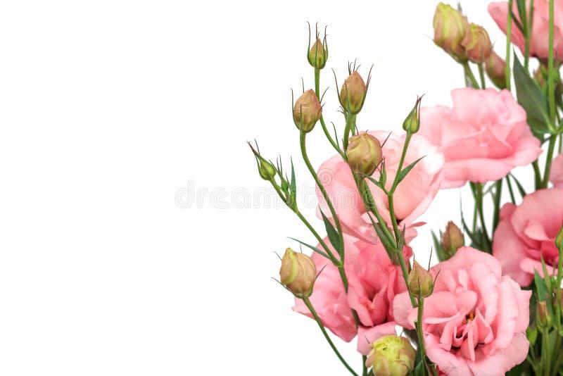 Bourgeons et belles fleurs roses à l'arrière-plan blanc images stock