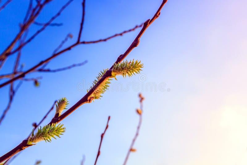 bourgeons fleuris de saule photographie stock