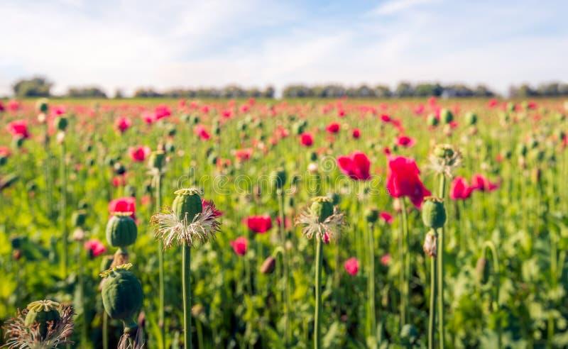 Bourgeons, fleurs rouges et capsules de graine des usines de pavot à opium dans un grand domaine images stock