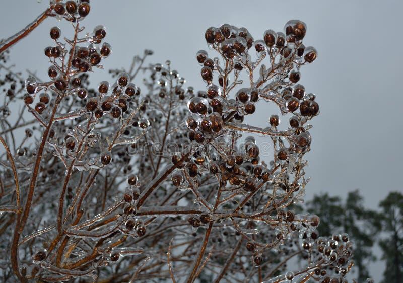 Bourgeons glacials d'arbre photographie stock libre de droits