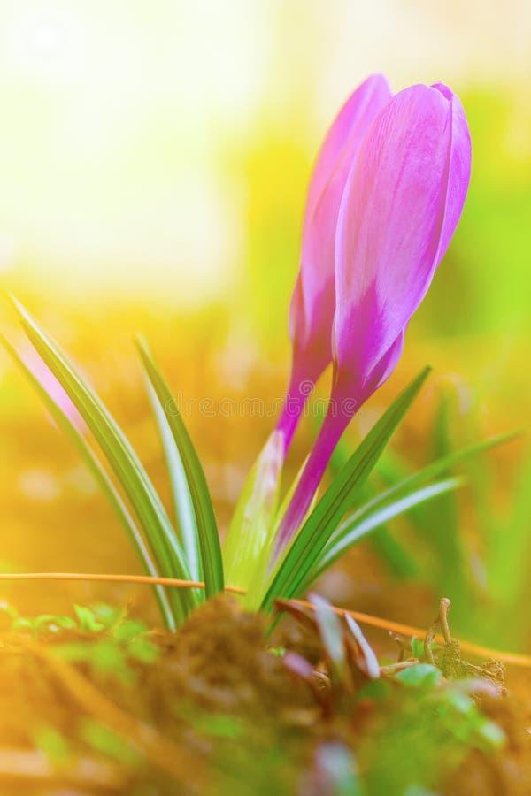 Bourgeons pourpres de matin ensoleillé de beau de ressort de fleurs de crocus ressort de plan rapproché photographie stock libre de droits