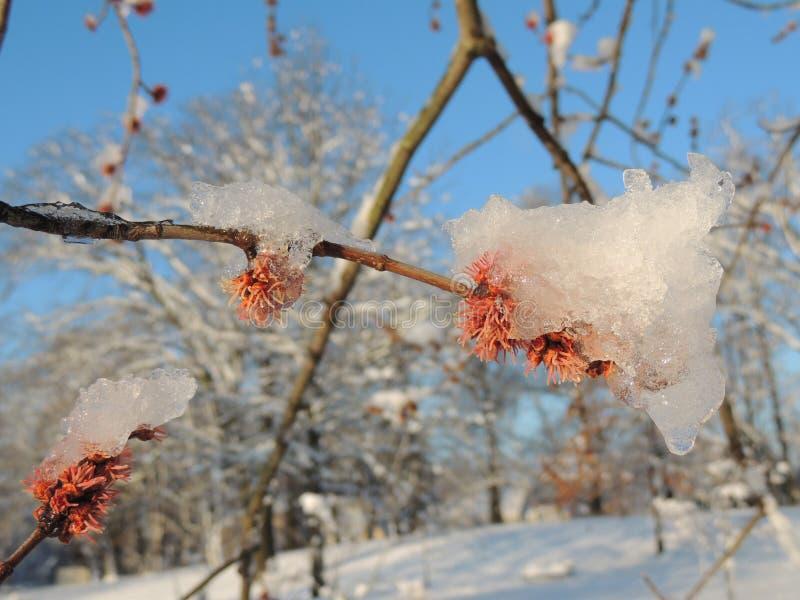 Bourgeons rouges sur la branche d'arbre avec de la glace photographie stock libre de droits