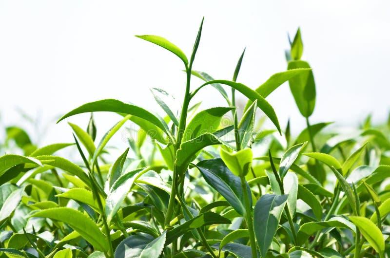 Bourgeons supérieurs d'arbre de thé photo libre de droits