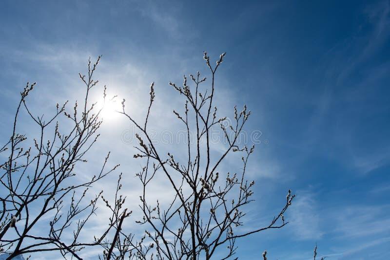 Bourgeons sur les branches au soleil de montagne images libres de droits