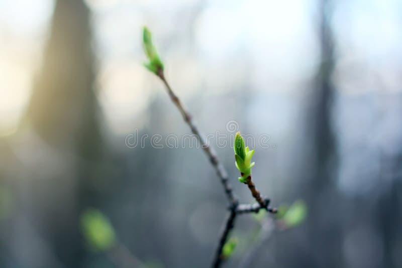Bourgeons verts en fleur au coucher du soleil de printemps photos libres de droits