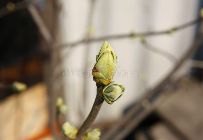 Bourgeons verts sur des branches au printemps Nature et floraison au printemps temps Fond clair de Bokeh photo libre de droits