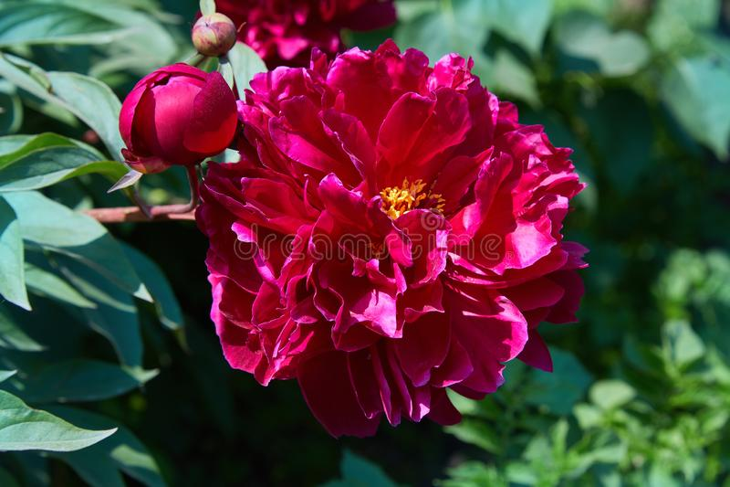 Bourgognepioner i tr?dg?rden Blomma den burgundy pionen royaltyfria bilder