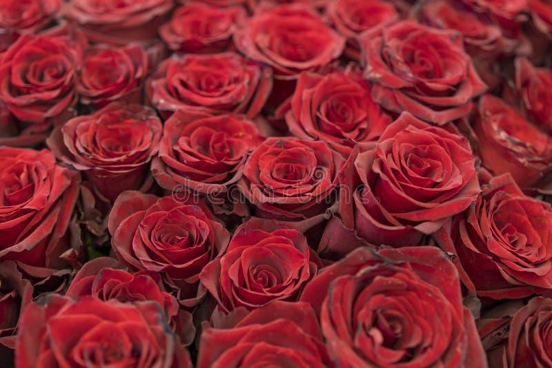 Bourgognerosor, bukett av mörkt - röda rosor R?d naturlig robakgrund selektiva r?da ro f?r bakgrundsfokus Nya r?da och burgundy r royaltyfria bilder