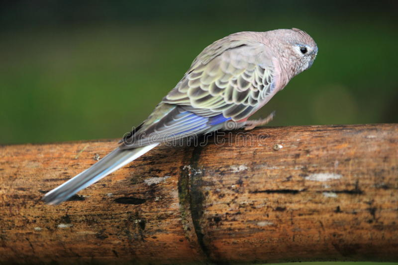 Bourke parrot. Sitting on the wood royalty free stock image
