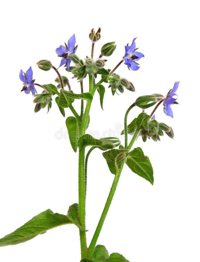 Bourrache (officinalis de Borago) image stock