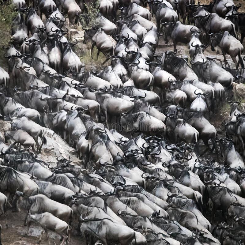 Bousculade de gnou hors de Mara River photographie stock libre de droits