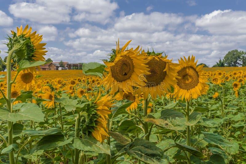 Boussac-Sonnenblumen stockbild
